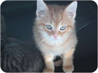 Domestic Shorthair Kitten for adoption in Jeffersonville, Indiana - Jingle