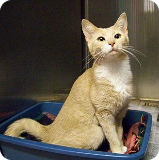 Domestic Shorthair Cat for adoption in Dover, Ohio - Jasmine