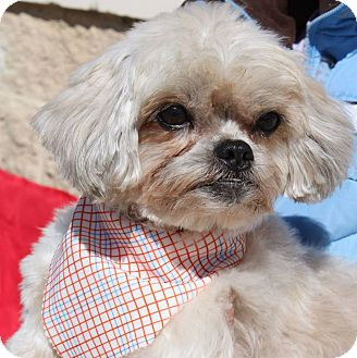 shih tzu rescue va toffee adopted dog staunton va shih tzu mix 8571
