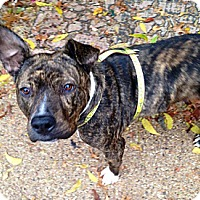 Bull Terrier/Plott Hound Mix Dog for adoption in Irving, Texas - Bunny