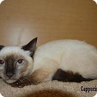 Adopt A Pet :: Cappuccino - Buena Park, CA