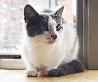 Domestic Shorthair Cat for adoption in Brooklyn, New York - Sweet and bright Sunny