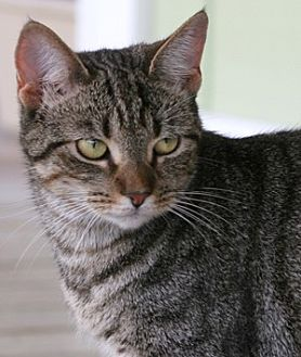 Domestic Shorthair Cat for adoption in North Fort Myers, Florida - Rhu