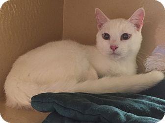 Domestic Shorthair Cat for adoption in Morganton, North Carolina - Micah