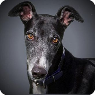 Greyhound Dog for adoption in Woodinville, Washington - Riley
