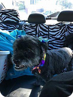 Lhasa Apso Mix Dog for adoption in Whitestone, New York - Jasmine (Black)