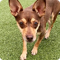 Adopt A Pet :: Cocoa - Whitestone, NY