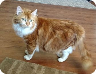 Domestic Mediumhair Cat for adoption in Des Moines, Iowa - Nona
