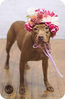Staffordshire Bull Terrier Mix Dog for adoption in Princeton, Minnesota - Ariel