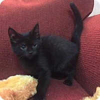 Domestic Shorthair Kitten for adoption in Ellicott City, Maryland - .Geordi LaForge