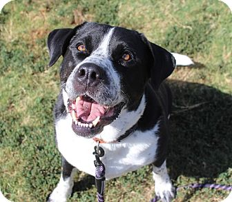 St. Bernard/Labrador Retriever Mix Dog for adoption in Owasso, Oklahoma - Stryker