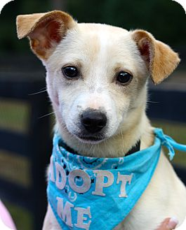 Chihuahua/Jack Russell Terrier Mix Puppy for adoption in West Grove, Pennsylvania - Logan