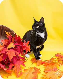 Domestic Shorthair Cat for adoption in Fort Collins, Colorado - Emma