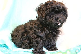 Shih Tzu/Poodle (Miniature) Mix Puppy for adoption in Allentown, Virginia - Jack-O-Lantern