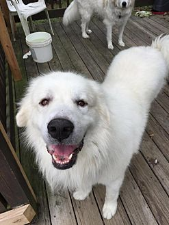 Great Pyrenees Mix Dog for adoption in Enfield, Connecticut - Mayer