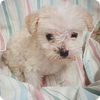 Adopt A Pet :: Smoke - Fredericksburg, TX