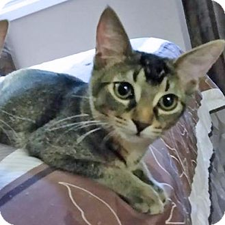 Domestic Shorthair Cat for adoption in Mississauga, Ontario, Ontario - Cadence