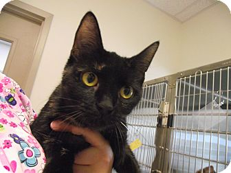 Domestic Shorthair Cat for adoption in Chambersburg, Pennsylvania - Sabrina