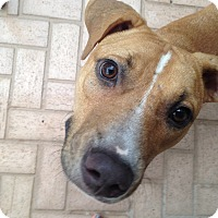 Hound (Unknown Type)/Pit Bull Terrier Mix Dog for adoption in Boca Raton, Florida - Dash