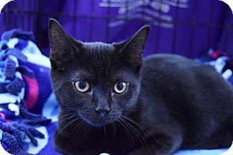 Domestic Shorthair Kitten for adoption in Flushing, Michigan - Boo