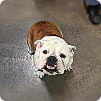 Adopt A Pet :: Star - Tempe, AZ