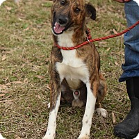 Adopt A Pet :: Forrest in CT - Manchester, CT