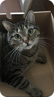 Domestic Mediumhair Cat for adoption in Fairfield, Connecticut - Serena