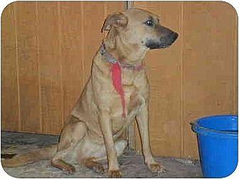 Belgian Malinois/Australian Kelpie Mix Dog for adoption in Anton, Texas - Sonja