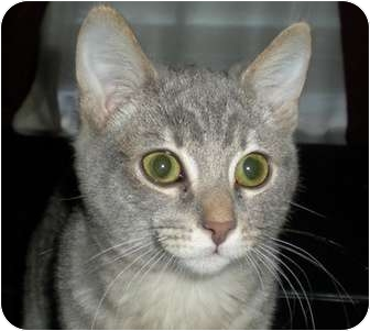 Domestic Shorthair Cat for adoption in North Highlands, California - Maine