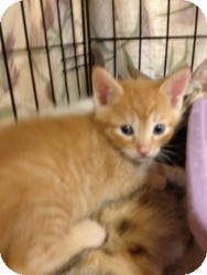 Domestic Shorthair Kitten for adoption in Fort Lauderdale, Florida - Andy