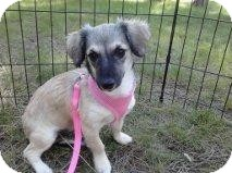 Chihuahua/Dachshund Mix Dog for adoption in Mesa, Arizona - Sabrina
