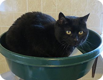 Domestic Shorthair Cat for adoption in Geneseo, Illinois - Whisper