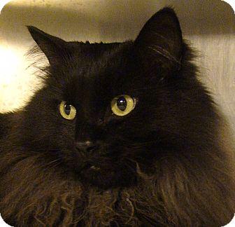 Domestic Longhair Cat for adoption in El Cajon, California - Smokey Joe