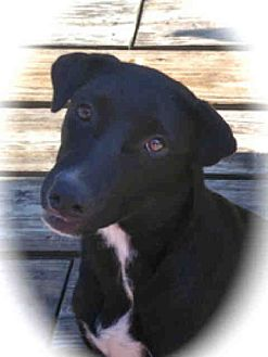 Labrador Retriever Mix Dog for adoption in Lufkin, Texas - Piper