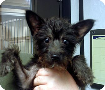Scottie, Scottish Terrier/Toy Poodle Mix Puppy for adoption in baltimore, Maryland - Alexis