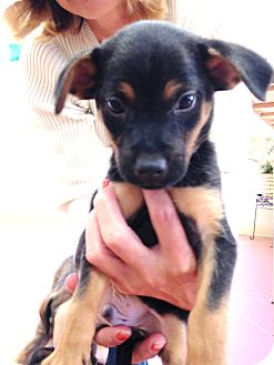 rat terrier german shepherd mix totally tenacious tugg adopted puppy federal way wa 4740