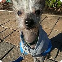 Adopt A Pet :: Milo-Fostered in KC - Bridgeton, MO