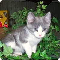 Adopt A Pet :: Gidget - Sterling Hgts, MI