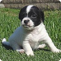 Adopt A Pet :: Cooper - La Habra Heights, CA