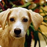 Adopt A Pet :: Caring Carolyn - Brooklyn, NY