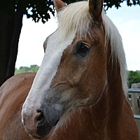 Belgian/Quarterhorse Mix for adoption in Washington, Connecticut - Bronson