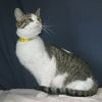 Domestic Shorthair Cat for adoption in Powell, Ohio - Kelsey