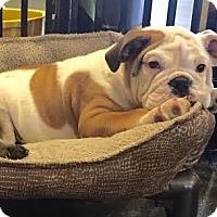 Adopt A Pet :: Einstein - Park Ridge, IL