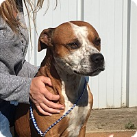 Boxer Mix Dog for adoption in Silver Spring, Maryland - PINTO