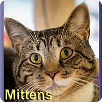 Adopt A Pet :: Mittens - Aldie, VA