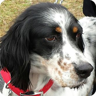 English Setter Dog for adoption in New Braunfels, Texas - Lou Ellen