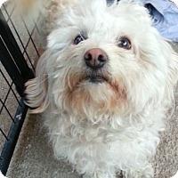Adopt A Pet :: Snowball - Los Angeles, CA