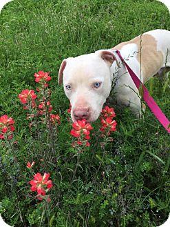 American Bulldog Mix Dog for adoption in Frisco, Texas - Montana
