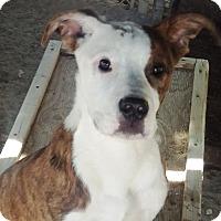 Adopt A Pet :: Bam Bam - Las Vegas, NV