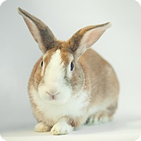 Dutch Mix for adoption in Los Angeles, California - Mighty Bun
